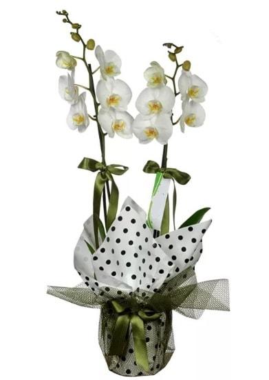 Çift Dallı Beyaz Orkide  Balgat Ankara çiçek online çiçek siparişi