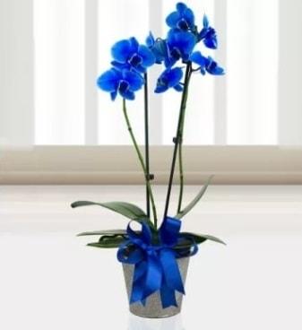 Çift dallı mavi orkide  çiçek satışı ankara balgat çiçekçi