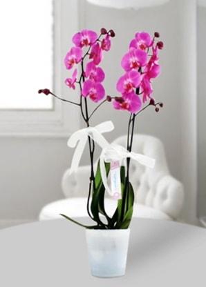 Çift dallı mor orkide  Ankara çiçekçi mağazası