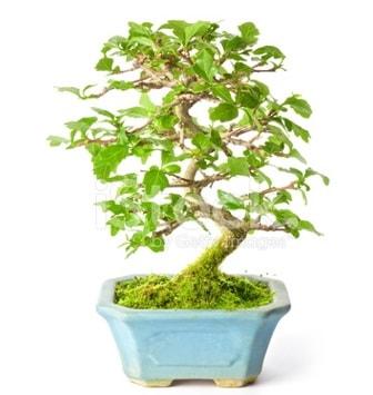 S zerkova bonsai kısa süreliğine  balgat çiçek siparişi Ankara çiçek yolla