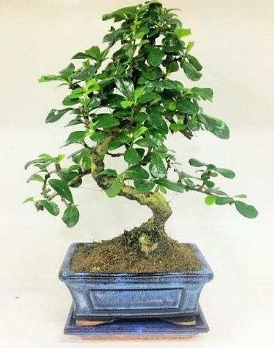 S Bonsai japon ağacı bitkisi  Balgat ucuz çiçek gönder