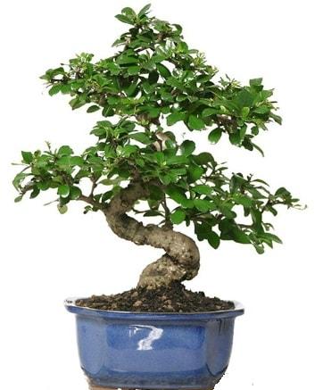 21 ile 25 cm arası özel S bonsai japon ağacı  Balgat Ankara çiçek gönderme
