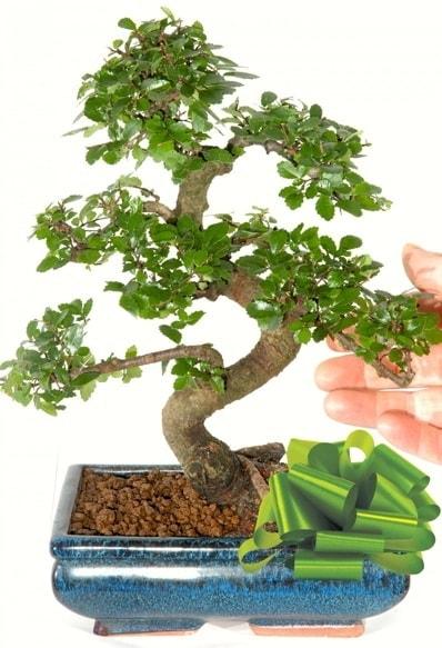 Yaklaşık 25 cm boyutlarında S bonsai  Ankara internetten çiçek satışı