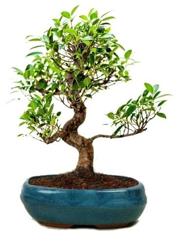 25 cm ile 30 cm aralığında Ficus S bonsai  Ankara İnternetten çiçek siparişi