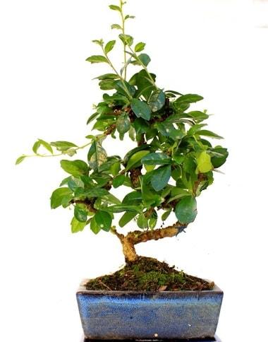 S gövdeli carmina bonsai ağacı  Balgat online çiçekçi telefonları  Minyatür ağaç