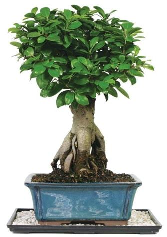 Bonsai Ginsing Grafted Ficus Bonsai  Balgat online çiçekçi telefonları